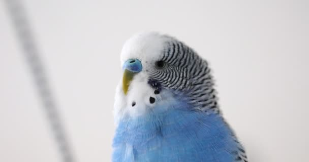A wavy parrot sings. Head close up.