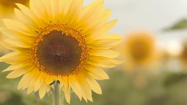 slunečnicová žlutá květina, zblizka
