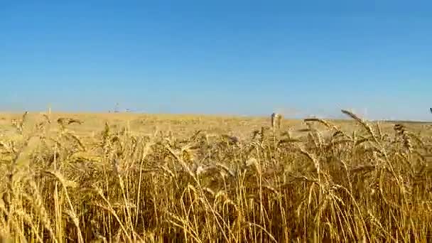 Field with gold wheat.