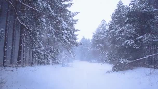 Sněžení v jehličnatých lesů, Sníh padající ze stromů, vítr