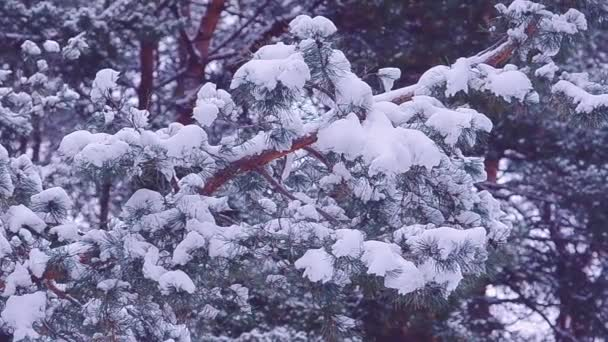 pine branches covered with white snow on background of a winter forest, winter landscape