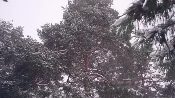 egy nagy havas fenyő karácsony téli erdő, hó fedi tr.