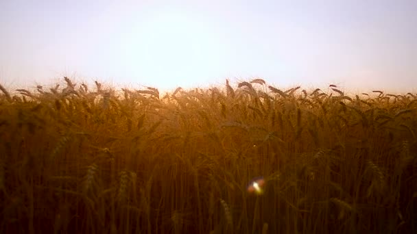 golden wheat field in the sun, ripe ears of wheat