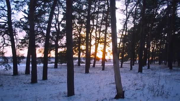 beautiful sunset in winter forest, sun illuminates pine branches, winter landscape, snow in the forest
