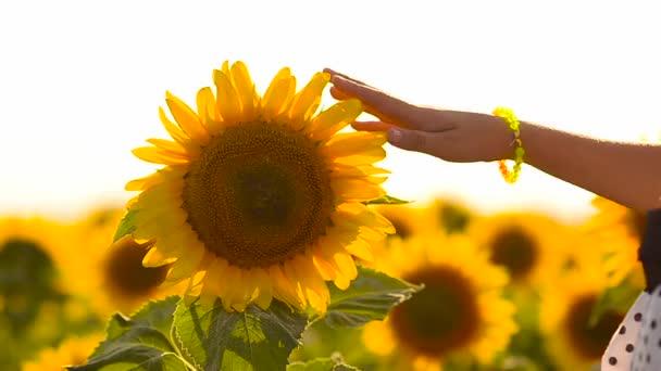 dívka ruka se dotýká, květ slunečnice, letní den, slunečnicový vítr třese,