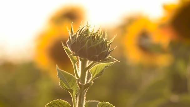 Bud nejsou kvetoucí květina slunečnice na pozadí žluté pole slunečnic