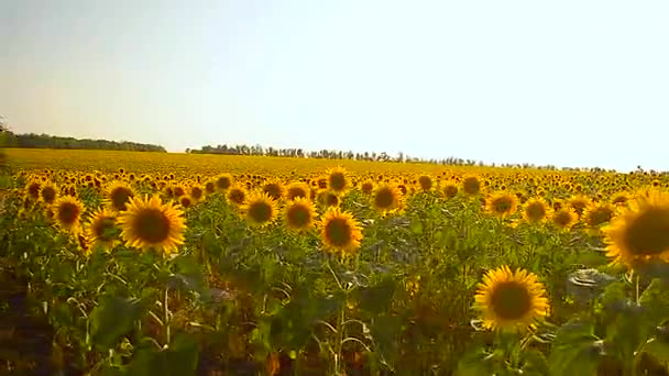 golden field of sunflowers sunny day yellow sunflowers swaying in wind blue sky over field,