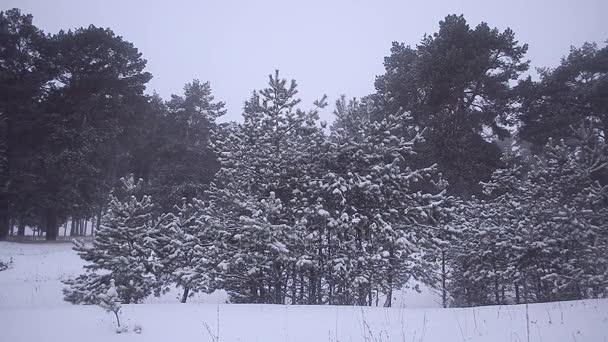 Schneefall im Winterwald, schneebedeckte Kiefern, wunderschöne Winterlandschaft