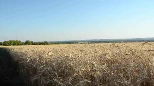 yellow field of ripe wheat, Wheat against the blue sky, ears of wheat of ripe, grain harvest.