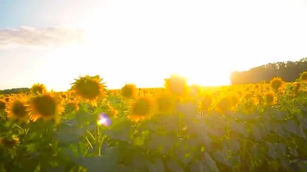 velké žluté pole slunečnic, vítr fouká zlaté slunečnice, krásné žluté květy.