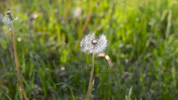 Pitypang magok a szél fúj. Zöld fű, a nyári parkban. Süt a nap