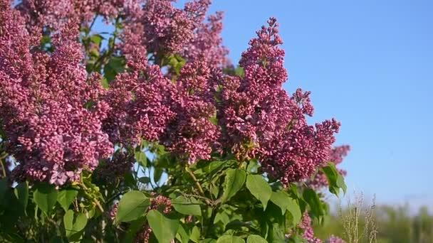 Lilac blossom strom v zahradě v jarním sluníčku, pobočky lila kymácející vítr, kvetoucí zahrady na jaře proti modré obloze