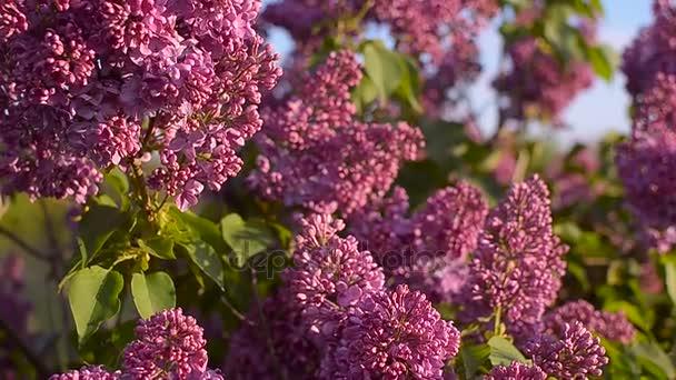 Lilac blossom strom na zahradě na jaře hmyz opyluje květy lila, kvetoucí strom proti modré obloze
