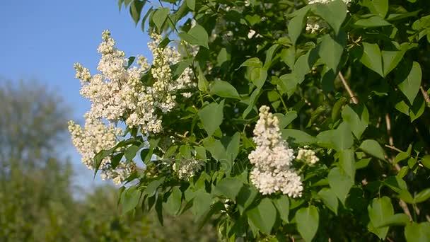 Kvetoucí strom z bílých v zahradě, kvetoucí jarní zahrada na pozadí modré oblohy