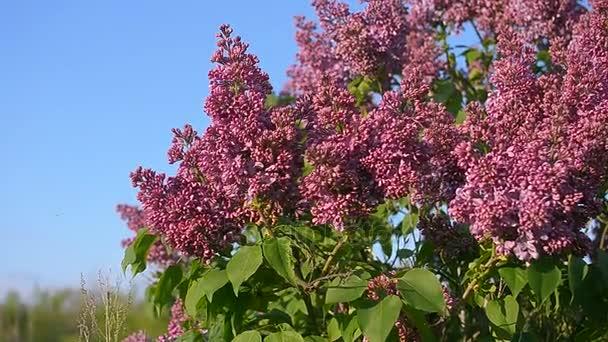 Lilac blossom strom v jarní zahrady, kvetoucí šeřík stromu proti modré obloze