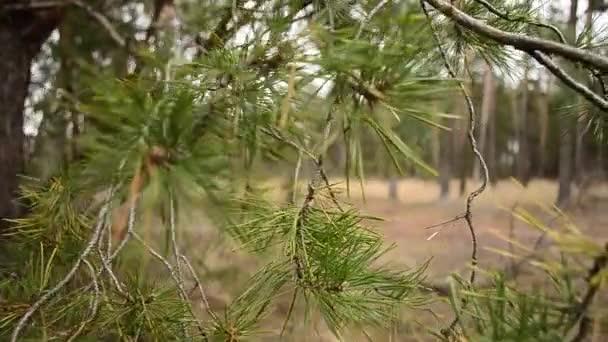 zöld fenyők ága uralkodik, a szél, az erdő