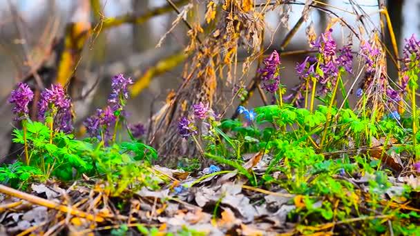 barevné jarní květiny v lese, v parku květy kvetou květy sasanek, Scilla