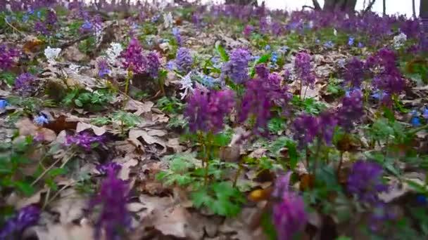 Květiny v lese Scilla, Corydalis. Jarní barevné květiny v lese kvetoucí na jaře Park