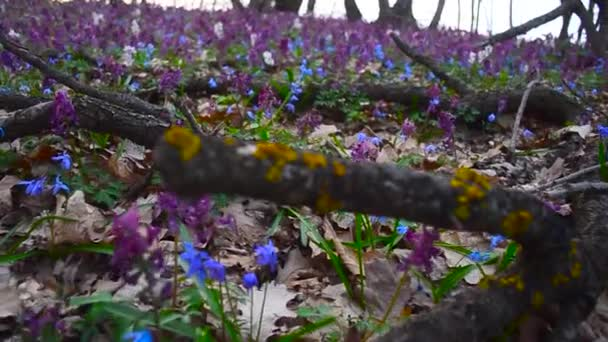 Spring colorful flowers in forest blooming in spring Park. Flowers in forest Scilla, Corydalis.