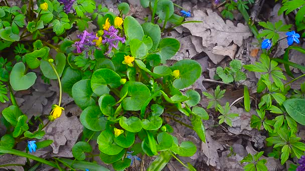 In forest blossomed yellow Ficaria verna. beautiful yellow flowers, blue flowers bloom in spring Park.