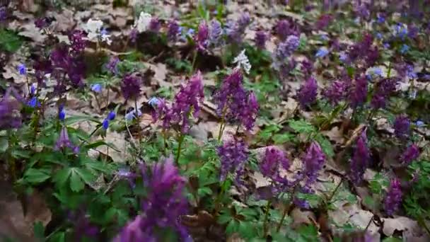 Flowers in forest Corydalis, Scilla. Spring colorful flowers in blooming in spring Park.