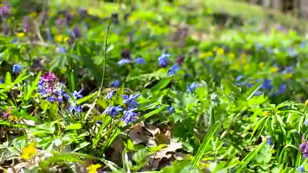 Flowers in forest Scilla, Corydalis. Flowering of colorful flowers in spring on a glade in forest.