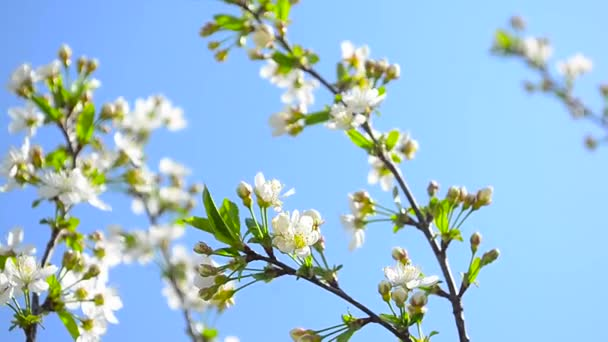 branches of blooming white cherry blossom in garden swinging on the background of blue sky