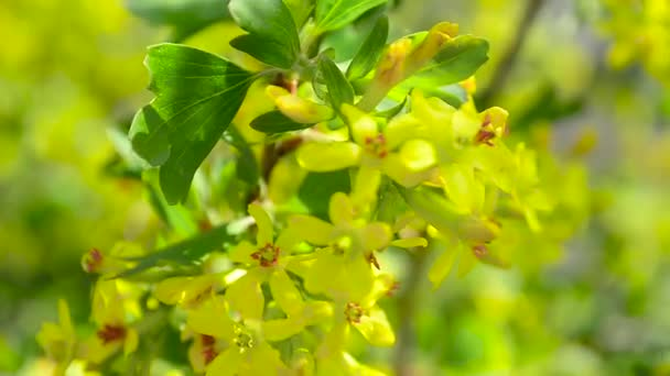 Branch of flowering currant swaying in wind yellow flowers currants branch of flowering currant swaying in wind yellow flowers currants on branch stock video mightylinksfo