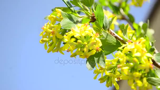 Branch of flowering currant swaying in wind yellow flowers currants branch of flowering currant swaying in wind yellow flowers currants on background of blue sky mightylinksfo