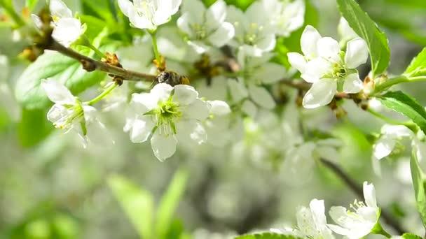 méh beporzó virágok a Vértes szilvafa