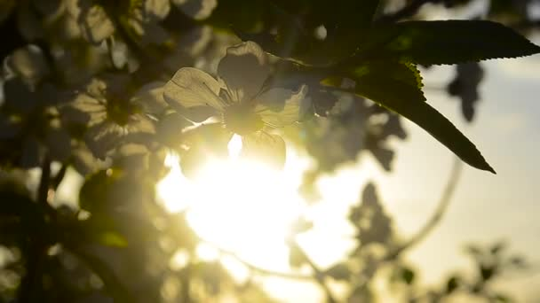 Cherry blossom in sunset illuminated by rays of the sun closeup