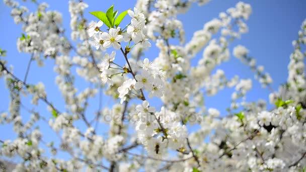 včely a hmyz opylit strom Kvetoucí třešeň proti modré obloze, krásné bílé květy na stromě v zahradě na jaře