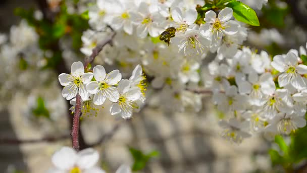 bee pollinating flowers of cherry on blue sky background close-up