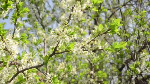 flowering branch of plum in spring garden is swinging with the wind