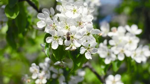 Bienen bestäuben blühende Birne im Frühling Garten, weiße Blüten der ...