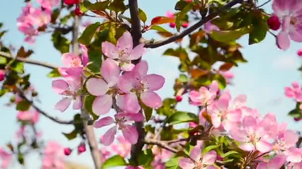 red flowers of Apple trees on background of blue sky wind shakes, blooming spring garden