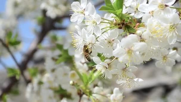 včela na květu třešně kvete, krásné Třešňové květy na zahradě