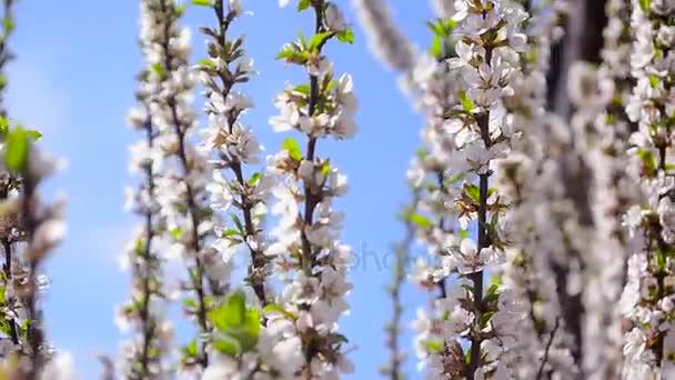 Krásné Kvetoucí třešeň proti modré obloze
