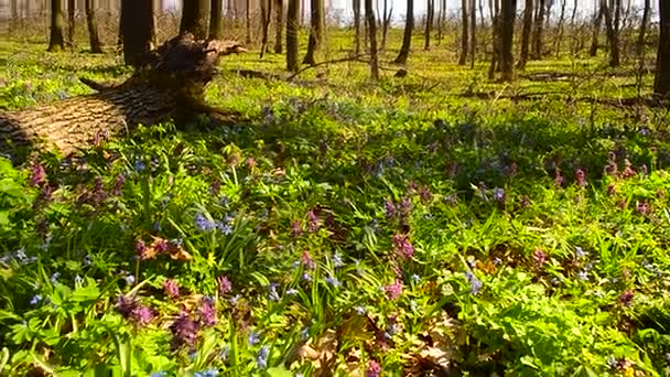 bees pollinate purple and blue flowers in spring Park, beautiful flower meadow in the forest