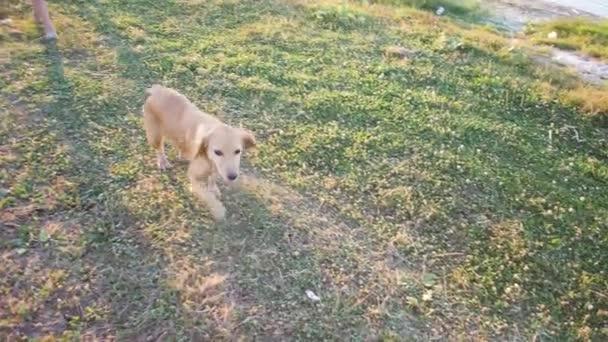 Zrzavý pes vede podél silnice. Zpomalený pohyb.