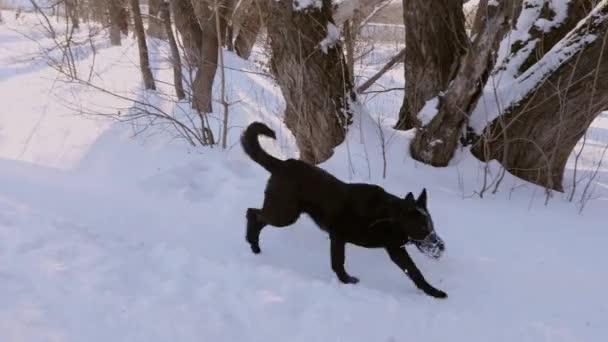 Pastevecký pes chůzi v ústí