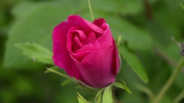 a szél, kerti imbolygó vörös rózsa Bud közelről