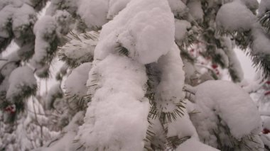 Snow-covered pine branch in a Christmas park in winter. Snow falls on the branches of fir trees. Beautiful winter landscape in the forest.