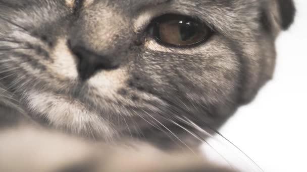 Proužkovaná šedá kočka si hraje na lhářku. Šťastný mazlíček odpočívá. Domácí mazlíčci. Krásná kočka. Shotlan složit plemeno koček. Detailní záběr