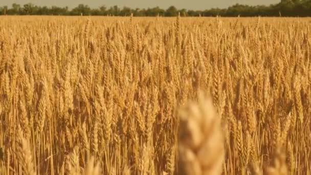 Spikelets of wheat with grain shakes the wind. field of ripening wheat against the blue sky. grain harvest ripens in summer. agricultural business concept. environmentally friendly wheat