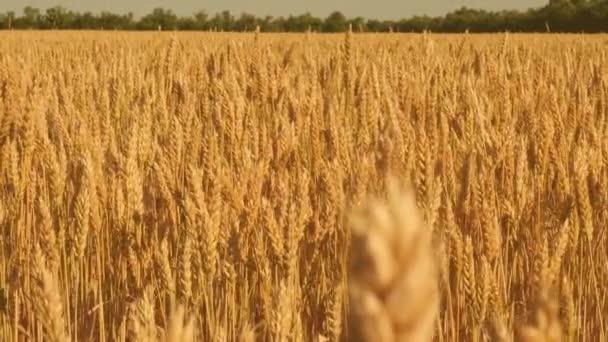 Spikelets a búza és a gabona rázza a szél. a kék ég ellen érlelő búza. gabona betakarítás érik nyáron. mezőgazdasági üzleti koncepció. környezetbarát búza