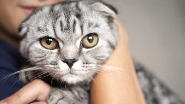 Der Besitzer hält eine britische schottische Faltkatze. glückliche Katze liegt in den Händen eines Mädchens. schöne gestromte Katze. Haustier und Frau. Nahaufnahme