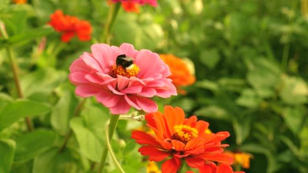 Gyönyörű virágok zinnia virágzik a kertben. Virágüzlet. méhecske gyűjti nektár egy virág a kertben tavasszal, nyáron. színes virágok a parkban. gyönyörű virágok kert virágzik üvegház