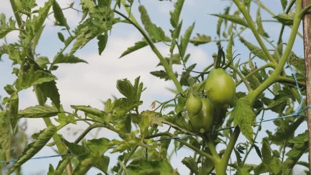 nezralá rajčata na farmářské plantáži zblízka. zelená rajčata dozrávají na větvi keře. Plody rajčat ve skleníku. zemědělský obchod