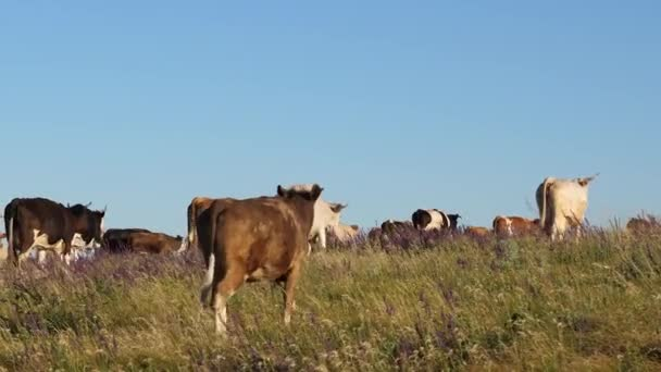 Cows graze on pasture. beautiful alpine meadow with cows. cattle in a pasture on a blue sky. Dairy business concept. concept of organic cattle breeding in agriculture.